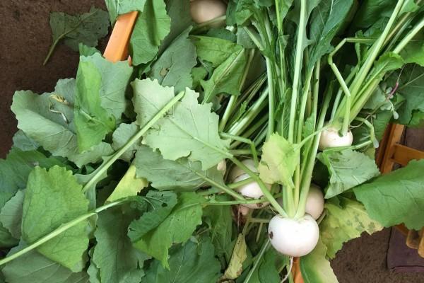 生でも食べられる美味しい「スイーツかぶ」の収穫が始まりました