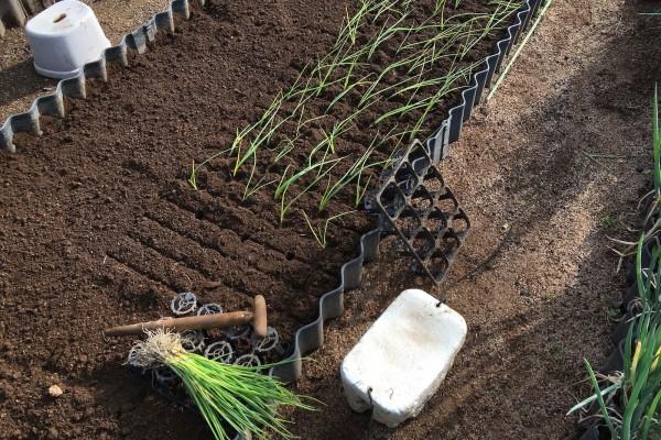 家庭菜園の玉葱定植作業